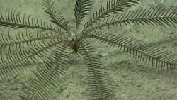 A black crinoid feather star. Image