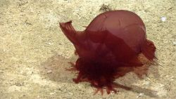 An Enypniastes holothurian on a sandy seafloor. Image