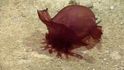 The same Enypniastes holothurian on a sandy seafloor with ropy excrement at the posterior end Photo