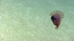 A swimming reddish brown Enypniastes holothurian. Image