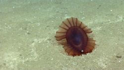 A reddish brown Enypniastes holothurian apparently excreting. Image