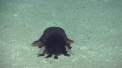 A large black Enypniastes holothurian on the seafloor. Image
