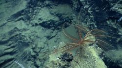 A brown feather star crinoid Photo