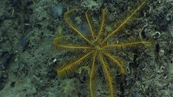 A yellow feather star crinoid on a rock face. Image