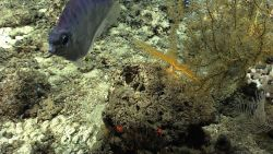 A curious fish inspects Deep Discoverer ROV Image