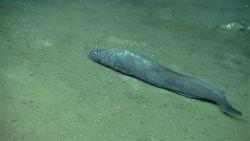 A large cusk eel. Image