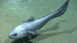 A rattail fish. Image