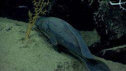 A cusk eel. Photo