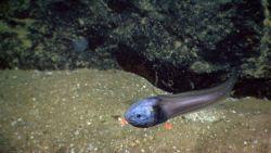 A snailfish. Image