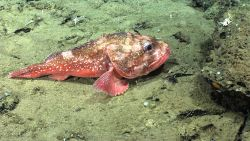 Deep sea fish - spiny scorpionfish or Atlantic thornyhead (Trachyscorpia cristulata cristulata). Photo