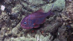 Atlantic roughy (Hoplostethus atlanticus) Image
