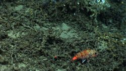 Blackbelly rosefish over a field of Lophelia pertusa rubble. Photo