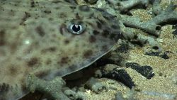 Closeup of the head of the skate seen in image expn2267. Photo