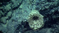 A dead venus flower basket sponge. Image