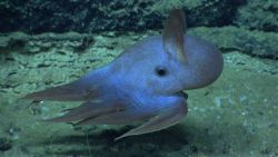 A dumbo Octopus with its ear-like fins - Grimpoteuthis are commonly nicknamed