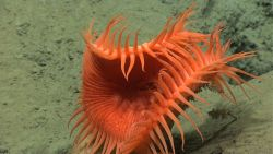 An orange venus flytrap anemone partially closing. Image
