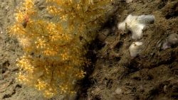 An acanella bamboo coral bush and a white sponge Image