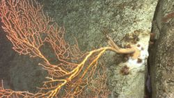 A large Paramuricea coral jutting out from the canyon wall. Image