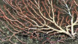 A large bamboo coral bush with polyps extended Image