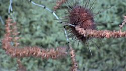 Bamboo coral bush with polyps being munched on by sea urchin. Photo