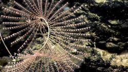 A spiraling iridogorgia coral bush. Image