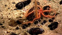 A large red brittle star at the base of an orange