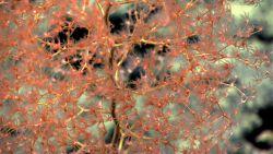 A delicate Chrysogorgia sp Image