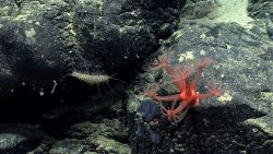 A red anthomastus octocoral and a somewhat bizarre holothurian. Image