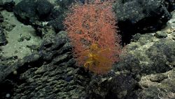 A pinkish Chrysogorgia octocoral bush with a yellow feather star crinoid. Image