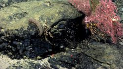 Bluish gray sponges, a white squat lobster, a Paragorgia coral bush, and a somewhat bizarre holothurian with long appendages. Photo
