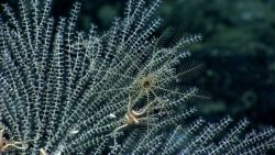 A white echinoderm gives the illusion of being a spider web as it resides on a white bamboo coral Image