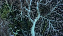A black feather star crinoid on a large white octocoral bush Image