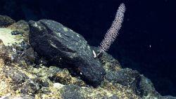 A chrysogorgia coral bush. Image