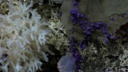 An odd appearing white sponge, small purple octocorals with polyps retracted, and a small sponge with an orange brittle star. Image
