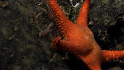 A coral eating starfish, Evoplosoma sp Photo