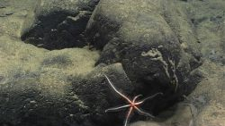 A six-armed starfish looking somewhat like a cross between a brisingid starfish and a large brittle star Photo