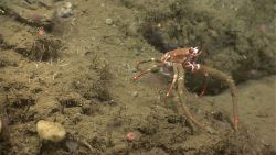 A large orange squat lobster with dirty appearing chelae. Photo