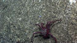 A large lithodid crab crawling along a rock wall Photo
