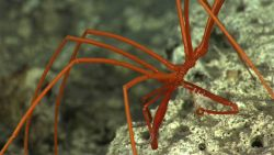 What appears to be a small white crustacean adhering to the leg of this pycnogonid sea spider Photo