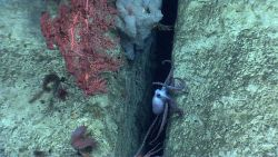 An octopus in a crevice in a canyon wall with a large white sponge, a large Paragorgia sp Photo