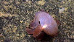 A dumbo octopus (Grimpoteuthis sp.). Photo