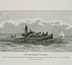 Crew of schooner, in old-style seine-boat, throwing the purse-seine From sketch by J Photo