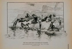 Natives capturing the sea-lion; springing the alarm Drawing by H Photo