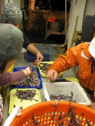 Sorting mid-water fish. Photo