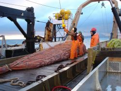 A full cod end of the trawl net. Photo