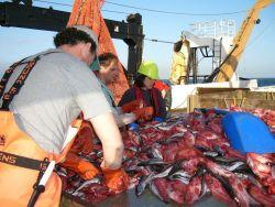 Splitnose rockfish and hake on sorting table. Photo