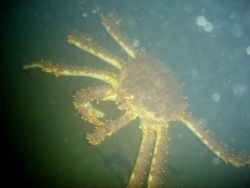 A king crab Photo