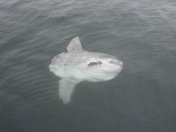 Sunfish Photo