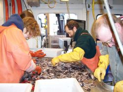 Science party sorting catch of mid-water lanternfish (myctophids). Photo