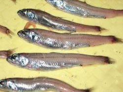 Lanternfish Photo